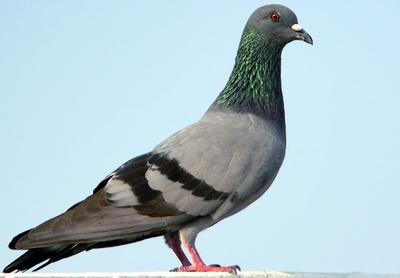 vocabulaire_animaux_pigeon-f81a8d0154
