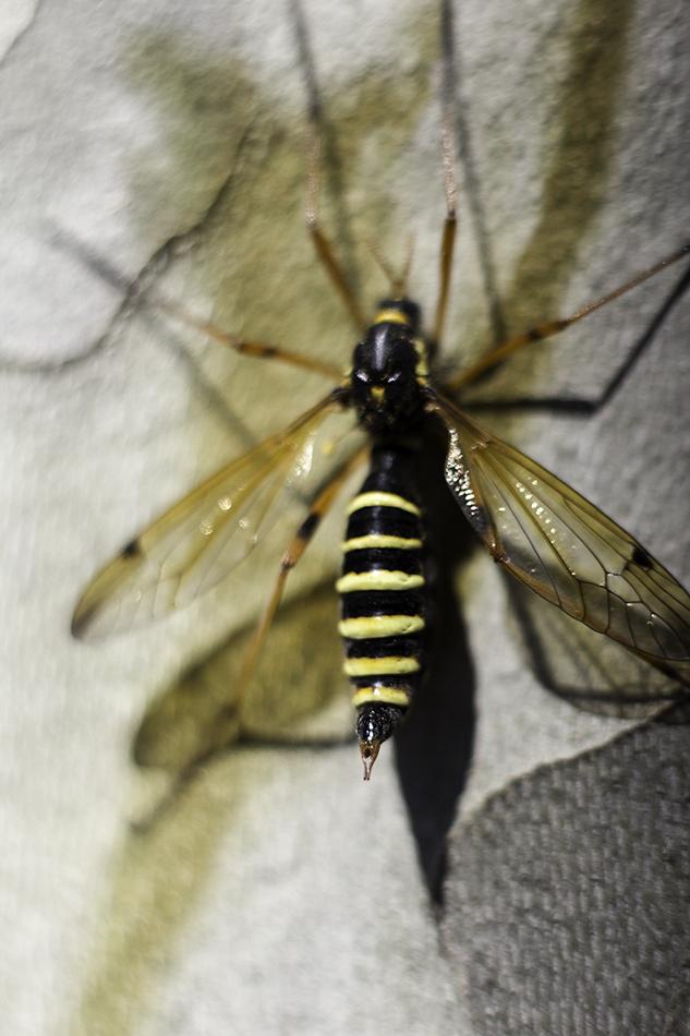 Quel est cet insecte genre de grosse guepe avec de for Insecte qui attaque le bois