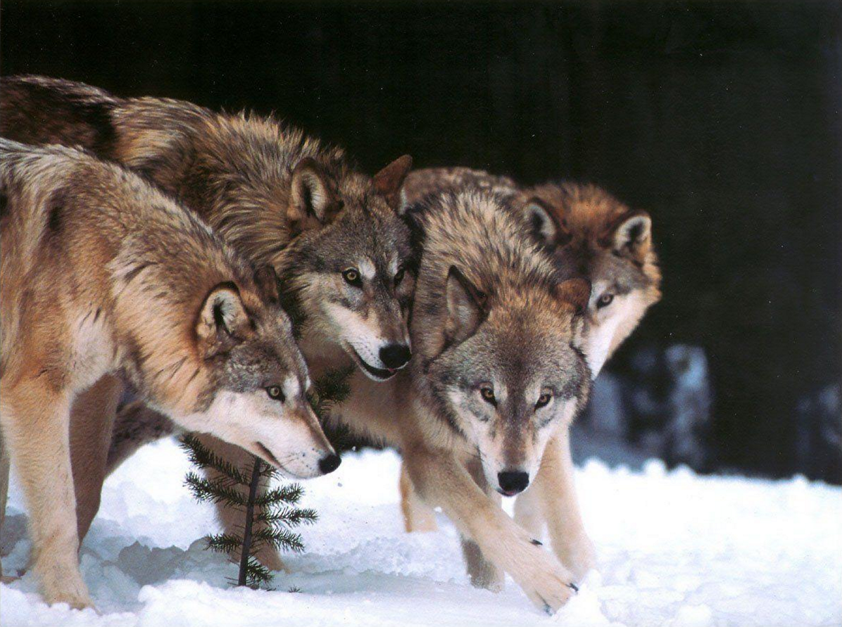 poutine vs booba vs une meute de 75 loups sur le forum blabla 15 18 ans 22 11 2015 17 19 15. Black Bedroom Furniture Sets. Home Design Ideas