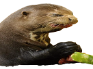 Sticker loutre loutre otter otter