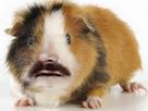 Sticker risitas cochon dinde mignon cute adorable