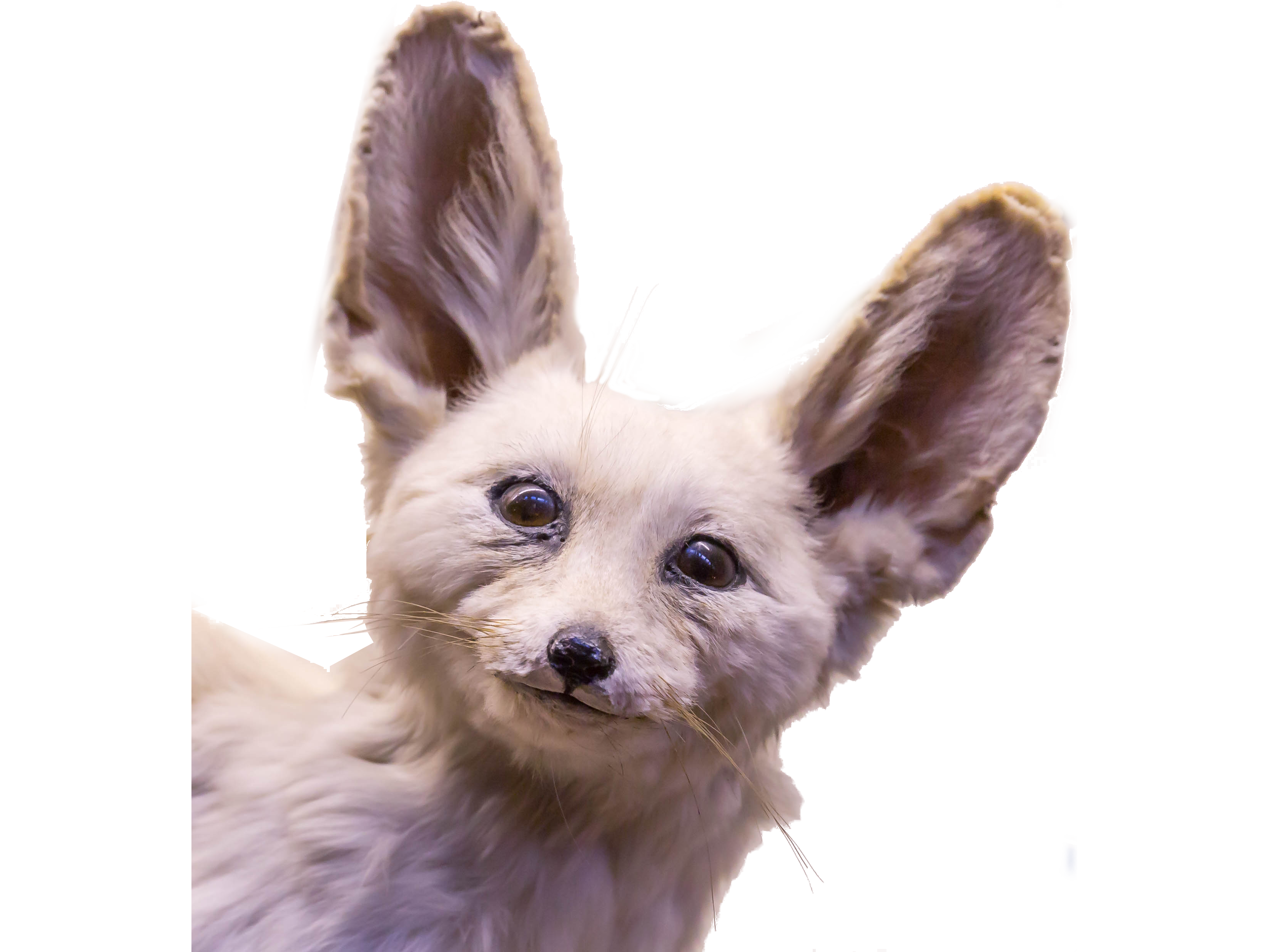 Sticker other fennec ahbon ah bon interessant prepa polytechnique x hd