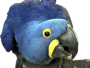 Sticker other spix macaw blu joueur