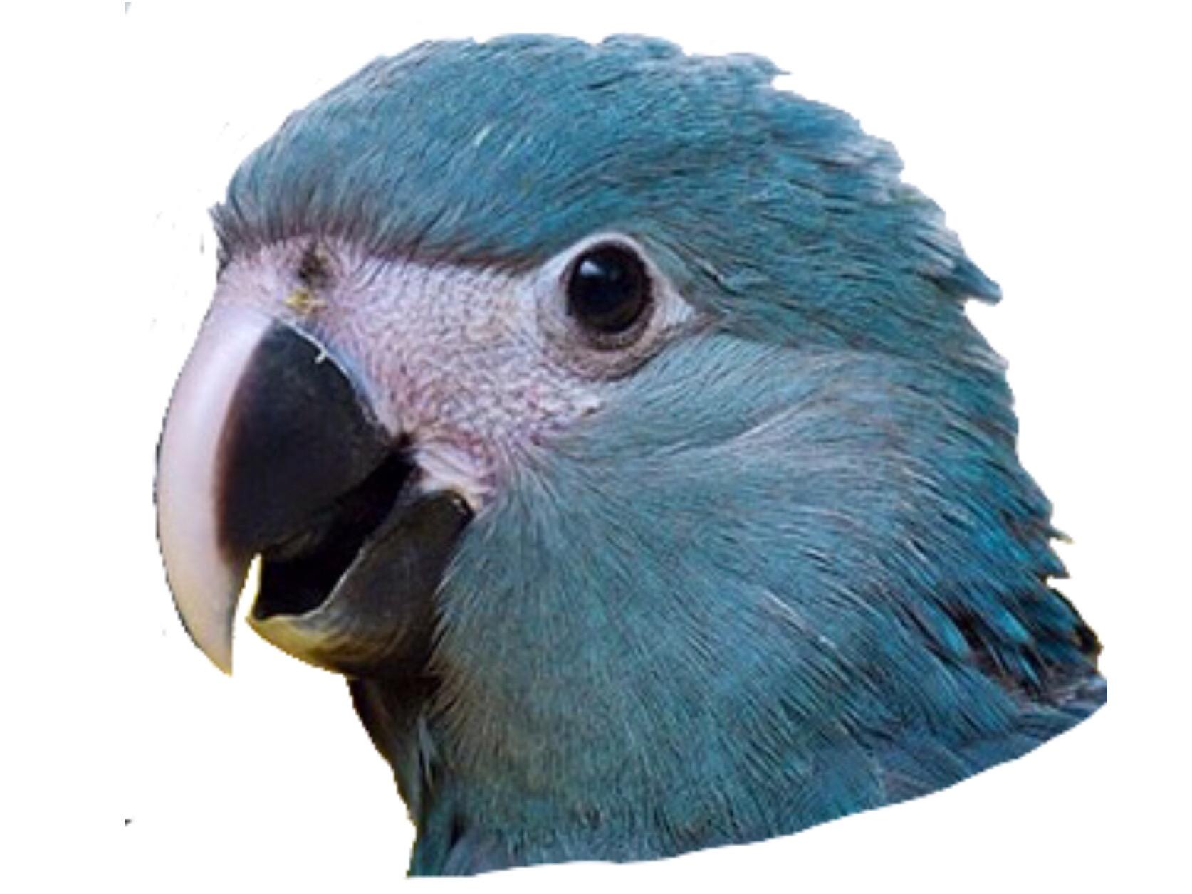 Sticker other spix macaw blu