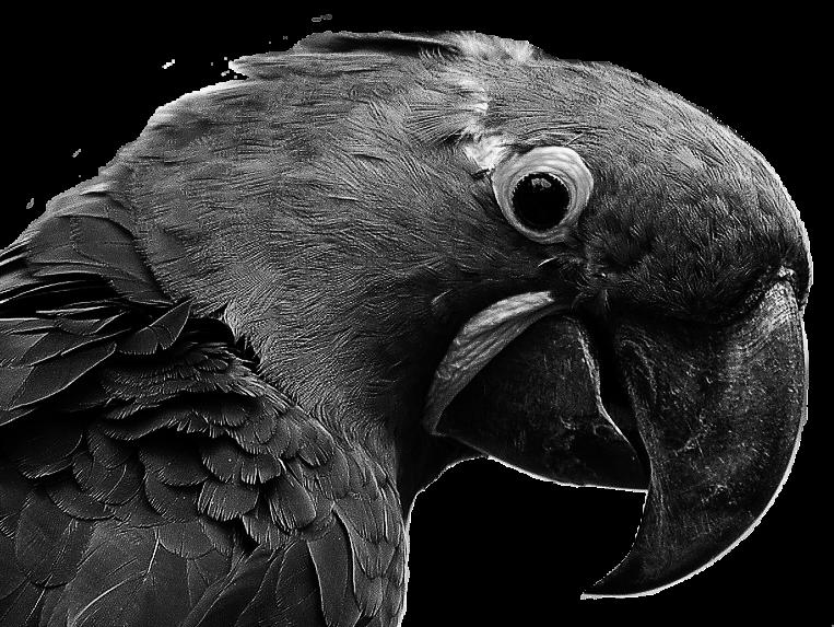 Sticker other spix macaw blu snif triste noir blanc