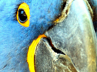Sticker risitas spix macaw blu zoom
