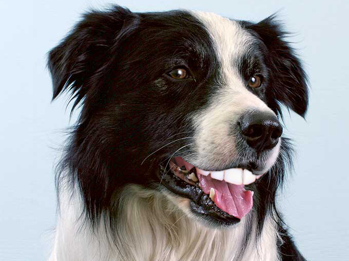 Sticker risitas border collie chien mechant dent regard