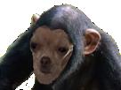 Sticker risitas chien singe chihuahua