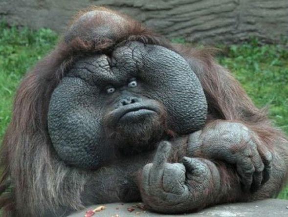 Sticker jvc singe orang outan doigt dhonneur dressage