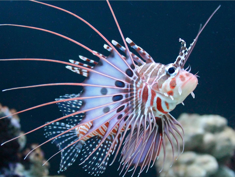 Sticker other poisson rascasse volante mer ocean venin