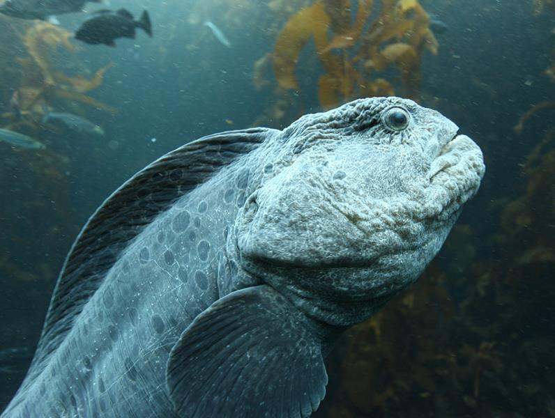 Sticker other poisson mer ocean anguille loup dent