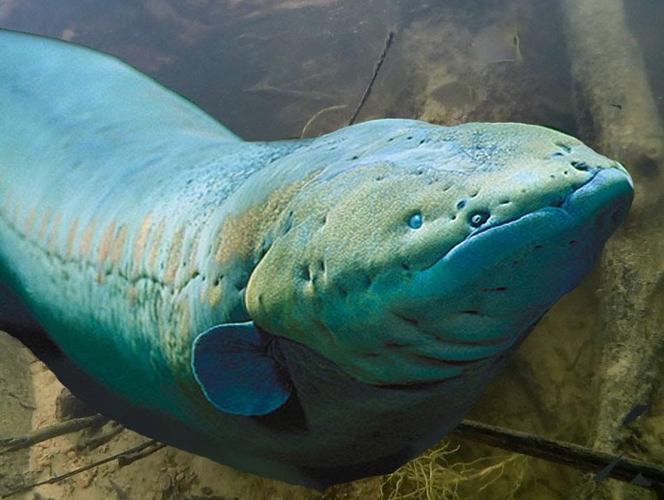 Sticker other poisson riviere fleuve lac anguille electrique