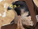 Sticker purification par le faucon issou jesus risitas drapeau nantes