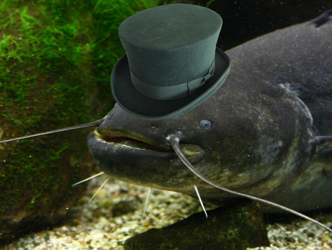 Sticker jvc silure gentleman poisson chapeau lac fleuve riviere marais