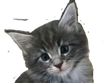 Sticker other chat gris chaton mignon poil issou