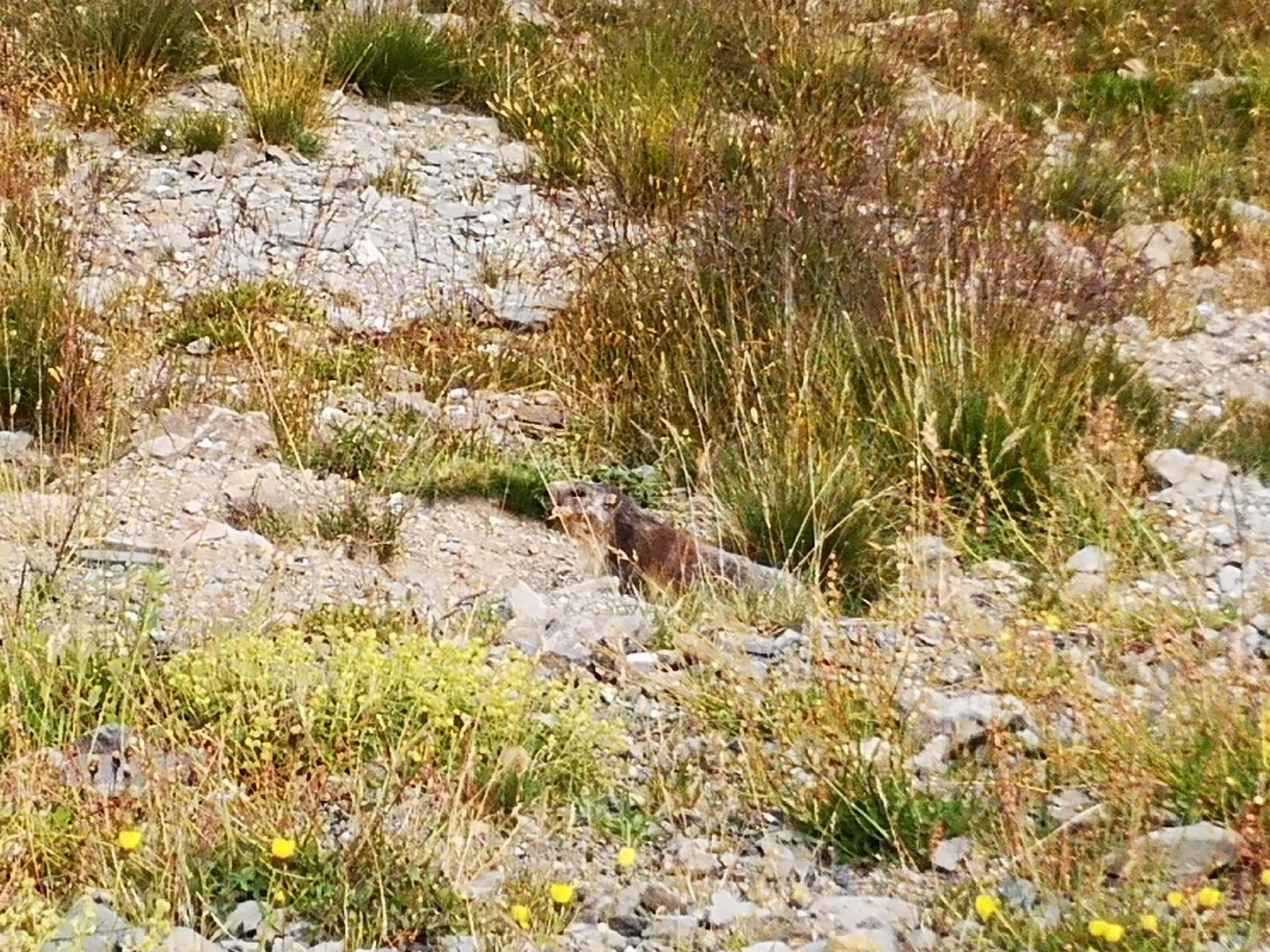 1566123042-marmotte.jpg