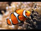 1352301767-fish-clownfish-tank-clown-desktop-3072x2048-wallpaper-290780.png