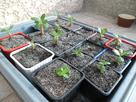 Mes premiers semis d'adéniums ...... 1375007744-sam-1857