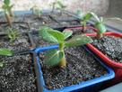 Mes premiers semis d'adéniums ...... 1375008278-sam-1863