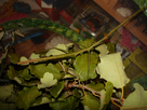 Elevage de Carausius morosus 1434271512-grand-phasme