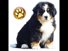 1539421215-bouvier-bernois-chiot-goldy.png