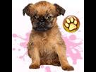 1541527096-griffon-bruxellois-f-apte-goldy.png