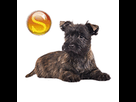 1541690814-cairn-terrier-chiot-sd.png