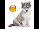 1541874526-husky-gris-chiot-sd.png