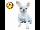 1541956527-chihuahua-goldy.png