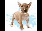 1542447793-bull-terrier-m-apte.png