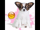1542709327-epagneul-papillon-f-apte-sd.png