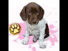 1542778361-chien-d-arret-danois-f-apte-goldy.png