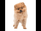 1542821556-spitz-chiot.png