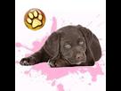 1543409391-labrador-choco-f-apte-goldy.png