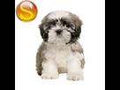 1543499301-shih-tzu-chiot-sd.png