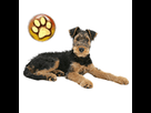 1543499436-airedale-chiot-goldy.png