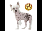 1543581692-chinois-nu-chiot-goldy.png