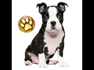 1543589866-boston-chiot-goldy.png