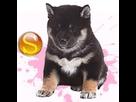 1544079654-shiba-f-apte-sd.png