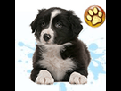 1544469805-border-collie-m-apte-goldy.png