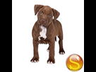 1545907449-pit-chiot-sd.png
