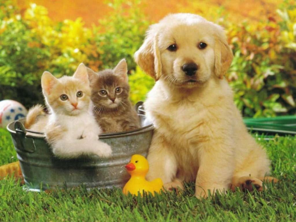 photo d 39 animaux mignon sur le forum nintendogs cats golden retriever ses nouveaux amis 18. Black Bedroom Furniture Sets. Home Design Ideas