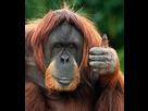 https://image.noelshack.com/fichiers/2012/35/1346260446-le-singe-dit-ok-du-pouce-un-geste-que-l-on-retrouve-chez-l-homme-15473-w460.jpg