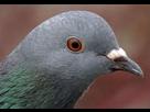 https://www.noelshack.com/2015-38-1442587828-pigeon.jpg
