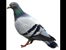 http://www.noelshack.com/2015-50-1449854991-pigeon-png3426.png