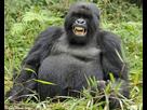 http://www.noelshack.com/2016-21-1464022892-gorille-ivre-2505-wide.jpg