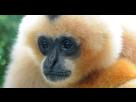 http://www.noelshack.com/2016-21-1464023689-wt-gibbon-free.jpg