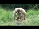 http://www.noelshack.com/2016-21-1464025204-femelle-gibbon-lar-avec-ses-deux-petits-3433724wqhke-1713.jpg