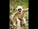 http://www.noelshack.com/2016-21-1464025291-gibbon-amiens5.jpg