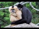 http://www.noelshack.com/2016-21-1464025710-200px-gibbons-couple.jpg